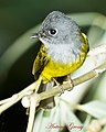 Grey Headed Canary Flycatcher (7090144959).jpg