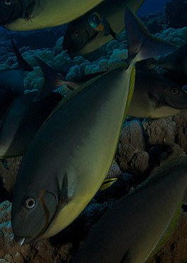 Grey Unicornfish with Hawaiian Cleaner Wrasse.jpg