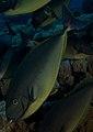 Grey Unicornfish with Hawaiian Cleaner Wrasse.jpg