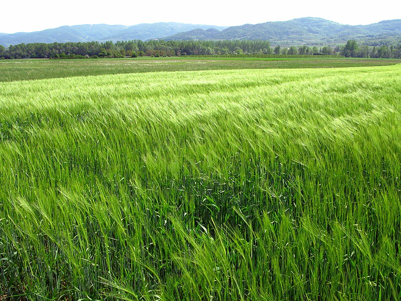 File:Growing wheat field, springtime green. Invigorating body, mind and soul. Hopefully not ( yet ) Triticum Monte Santum !!! Who knows ? (7146639785).jpg