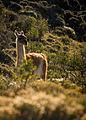 Guanaco in Patagonia.jpg