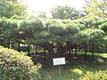 Guanyin Goddess Pine.jpg