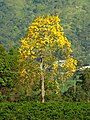 Guayacán amarillo (Tabebuya chrysantha) - Flickr - Alejandro Bayer.jpg