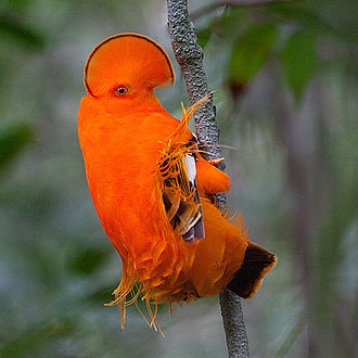 Guianan cock-of-the-rock - Image: Guianan Cock of the rock (Rupicola rupicola)