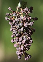Photographie montrant une grappe de raisin momifiée par une attaque de black rot.