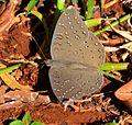 Guineafowl (Butterfly) - Hamanumida daedalus - Tarentaaltjie 1.jpg