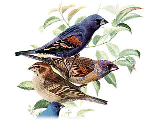 Plumage - The differences in plumage of a blue grosbeak, from top to bottom, between a breeding male (alternate plumage), a non-breeding male (basic plumage), a female, and the related indigo bunting