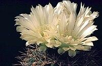 Gymnocalycium schatzelianum.jpg