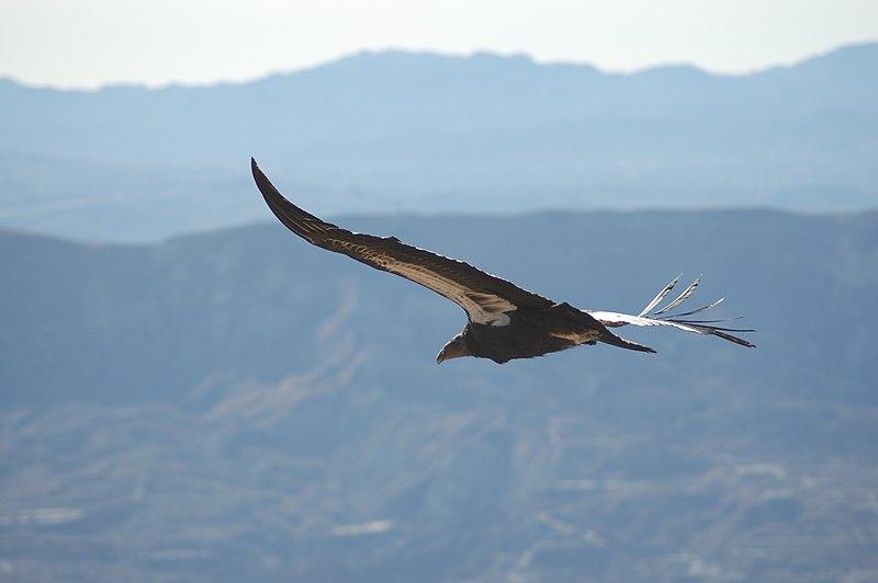 File:Gymnogyps californianus -Los Padres National Forest , California, USA -soaring-8.jpg