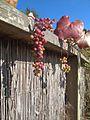 H20130811-9460—Vitis californica x viniferea 'Roger's Red' (9513508148).jpg