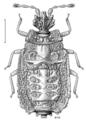 HEMI Aradidae Carventaptera spinifera.png