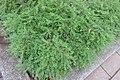 HK CWB 高士威道 Causeway Bay Road 維多利亞公園 Victoria Park green plant Sept 2017 IX1 地锦草 Humifuse Euphorbia Herb 01.jpg
