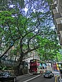 HK Mid-Levels Bonham Road Banyan trees HKU campus Apr-2013.JPG