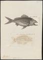 Haemulon formusum - - Print - Iconographia Zoologica - Special Collections University of Amsterdam - UBA01 IZ13000151.tif