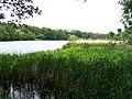 Hamerský rybník, od východu z rákosí.jpg