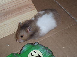 Hammy the Syrian Hamster