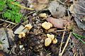 Harilik ringik (Cudonia circinans), Eestis.JPG