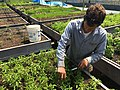 Harvesting basil at Stargazer Farm, Sandy, Oregon.jpg