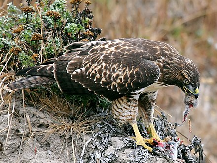 Voles are often caught by red-tails, especially immature hawks such as this may depend almost fully upon them. Hawk eating prey edit.jpg