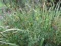 Heimia salicifolia (15227433447).jpg