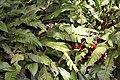 Heliconia bihai 0zz.jpg