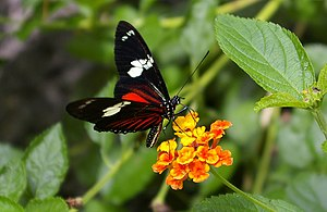 Wildlife of Costa Rica - The Heliconius doris butterfly.