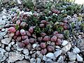Heliotrope milkvetch ( Astragalus montii) (6307370402).jpg