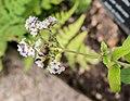 Heliotropium peruvianum in Jardin des 5 sens (1).jpg