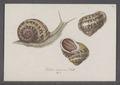Helix aspersa - - Print - Iconographia Zoologica - Special Collections University of Amsterdam - UBAINV0274 089 01 0013.tif