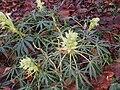 Helleborus foetidus January.jpg