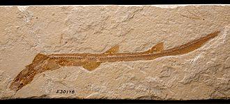 Hemiscylliidae - Hemiscylliidae fossil from late Cretaceous
