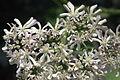 Heracleum austriacum (Österreich-Bärenklau) IMG 26643.JPG