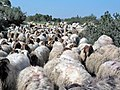 Herd of sheep in Lachish.jpg