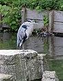 Heron Hyde Park 2 (2733715752).jpg