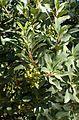 Heteromeles arbutifolia 'Davis Gold' kz4.jpg