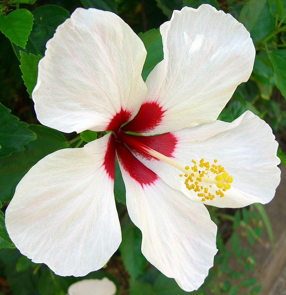 Hibiscus rosa sinensis eanswers hibiscus 5g izmirmasajfo