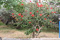 Hibiscus rosa-sinensis China Hibiscus ჩინური ვარდი.JPG