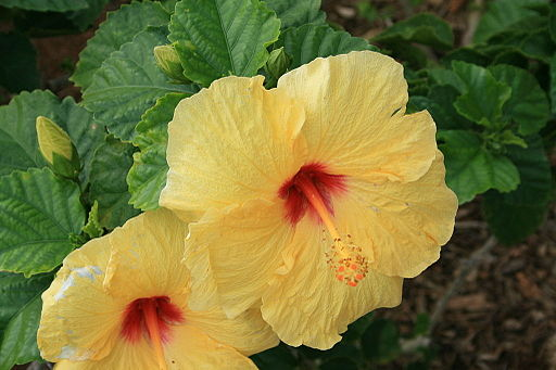 Hibiscus rosa-sinensis yellow, Oahu, Hawaii, USA
