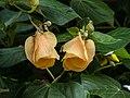 Hibiscus tiliaceus inflorescences Moora Park Shorncliffe Bramble Bay Queensland P1020195.jpg