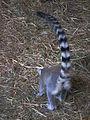 Hinterteil eines Katta Zoo Landau.JPG