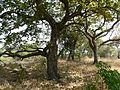 Hirda (Marathi- हिरडा) (3309173970).jpg