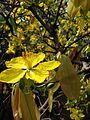Hoa mai vàng 2016.jpg
