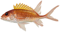 Holocentrus adscensionis - pone.0010676.g033.png