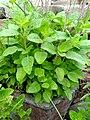 Holy Basil(Rama;Ocimum tenuiflorum).jpg