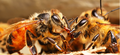 Honey Bee Grooming.png