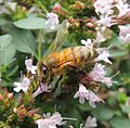 Honeybee on oregano, Sandy, Bedfordshire (9576212169).jpg