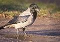 Hooded crow (50887168556).jpg