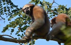 Hoolock gibbon - Image: Hoolock Gibbon by Dr Raju Kasambe 02