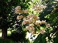 Horse chestnut - Flickr - Stiller Beobachter.jpg