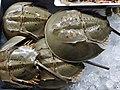 Horseshoe Crab Fresh on Ice.jpg